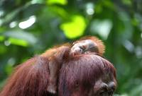 Baby Bornean Orangutan Sleeps On His Mother