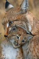 Baby Lynx Cub Cuddles Mom