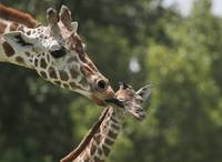 Baby Giraffe Is Licked By Her Mother