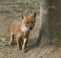 Dhole Pup, Asiatic Wild Dog