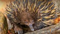 Echidna, Spiny Anteaters