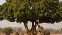 Elephant Gathers Food From Tree
