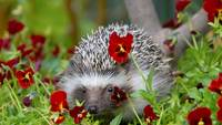 Hedgehog In The Red Flowers