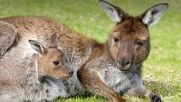 Kangaroo Mom and Joey