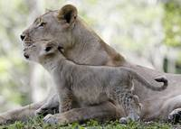 Lion Cub Nuzzles Up To Its Mother
