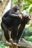 Mom Chimpanzee and Baby