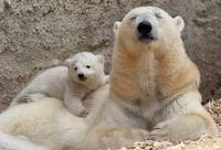 Mother Polar Bear and Cub