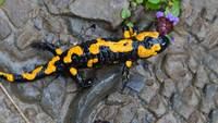 Yellow Salamander