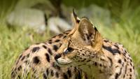 Serval Cat, Giraffe Cat