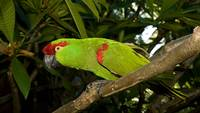 Green Thick Billed Parrot