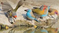 Colorful Waxbill Birds