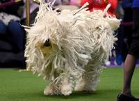 White Hungarian Puli Dog