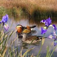 Mandarin Ducks and Wild Iris by I.M. Spadecaller
