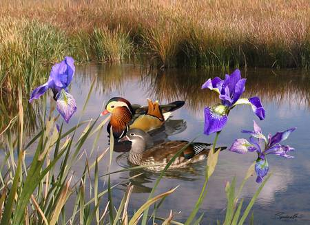 Mandarin Ducks and Wild Iris