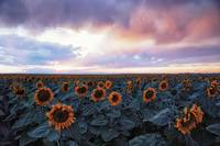Sunset Among the Sunflowers