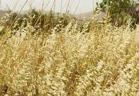 Wild Golden Wheat