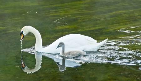 Ashford Castle Swan and Cygnet