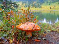 Quite Big Red Mushroom - Tipsoo Lake