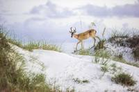 Deer In The Dunes