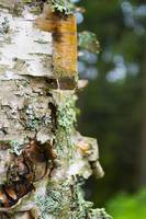 Peeling Birch Bark, Maine