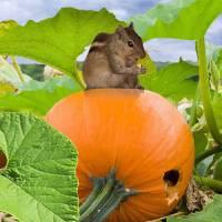 Chipmunk In Pumpkin Patch by I.M. Spadecaller