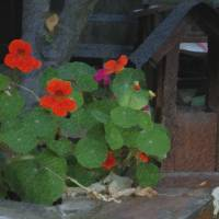 Bird House with Nasturtium Art Prints & Posters by Artsyroom Artist