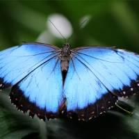 Close to Blue Morpho Butterfly by Karen Adams