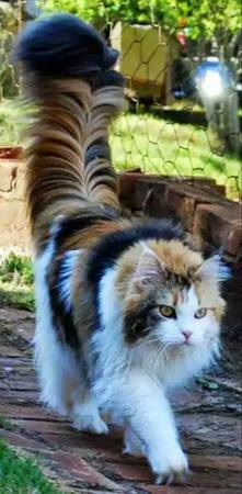 Long Fur Calico Cat