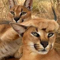 """Caracal Cats"" by AnswersFound"