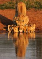 Lion Pride Family Takes A Drink