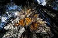 Monarch Butterflies Crowd On A Tree, Mexico