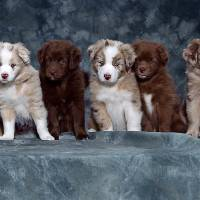 """Red Merle Australian Shepherd Puppy,Australia"" by AnswersFound"