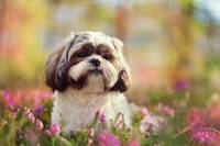 Shih Tzu Dog In Pink Flower Bed