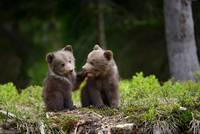 Two Cute Grizzly Bear Cubs In The Forest