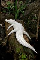 Albino Alligator On A Moss Log