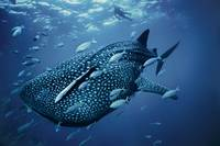 A Diver Looks Down On A Spotted Whale Shark, Austr