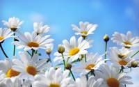 Camomile White Flowers