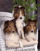 Collie Puppies On A Wicker Couch