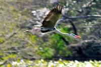 Gray Heron's Flight Over The Lilies Pond