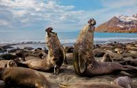 Elephant Seal Bulls Fight For Mating Rights, Russi