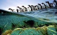 Gentoo Penguins Line Up And Dive, Antarctica
