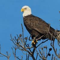 Cedar Perch - Eagle by Roger Dullinger