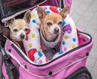 Two Chihuahuas Riding in a Stroller