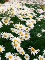 Daisies on Campus