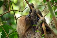 Casual_2015 07 27_0449  Two-Toed Sloth
