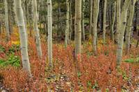 Colorful Aspen Forest Floor