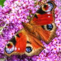 The Peacock Butterfly Art Prints & Posters by Stephen Walton