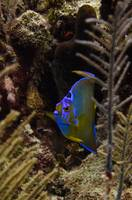 Adolescent Queen Angelfish 5 Cat Island 9-1B-12-90