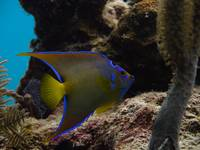 Adolescent Queen Angelfish 13 Cat Island 9-1B-12-9