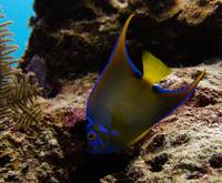 Adolescent Queen Angelfish 21 Cat Island 9-1B-12-9